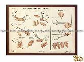 Плакат «Приготовление полуфабрикатов из птиц»