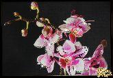 Картина Маленькая орхидея