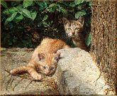Котята, картина, Модерн животный мир №23